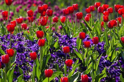 tulipany w ogrodzie